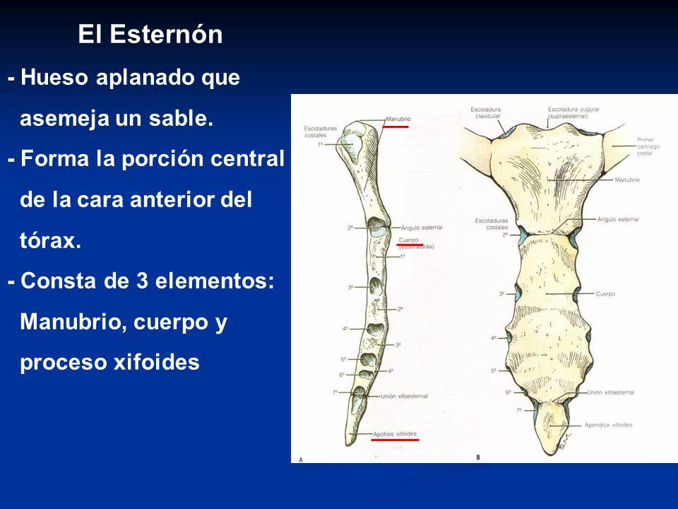 El Esternón - Hueso aplanado que asemeja un sable. - Forma la porción central de la cara anterior del tórax. - Consta de 3 elementos: Manubrio, cuerpo