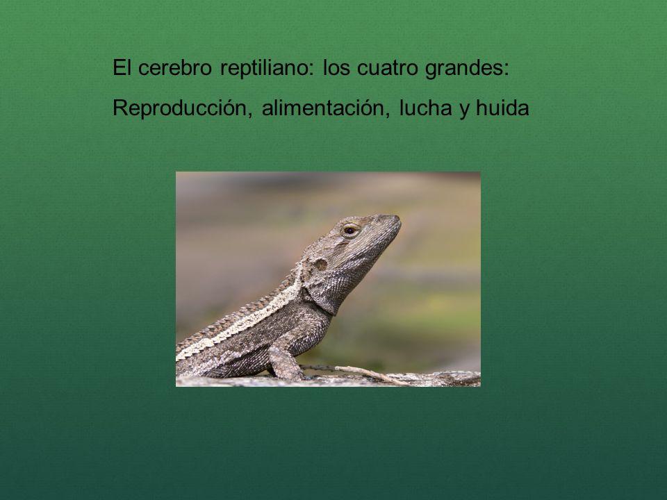 El cerebro reptiliano: los cuatro grandes: Reproducción, alimentación, lucha y huida
