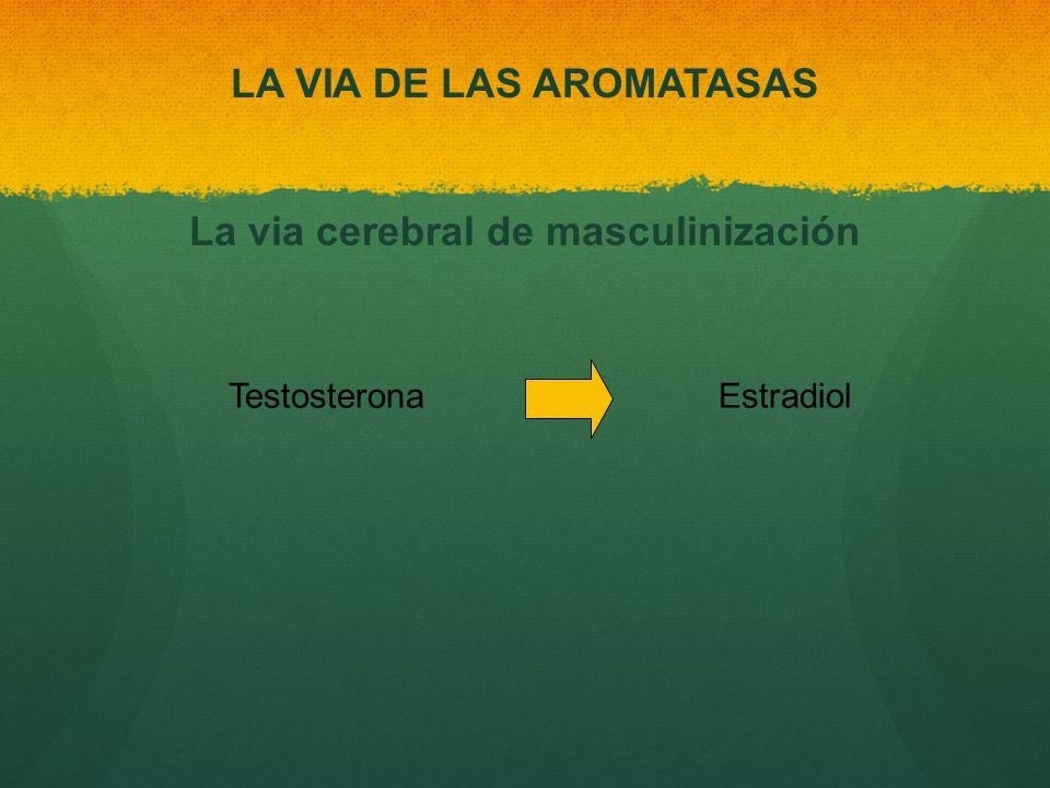 Testosterona Estradiol LA VIA DE LAS AROMATASAS La via cerebral de masculinización