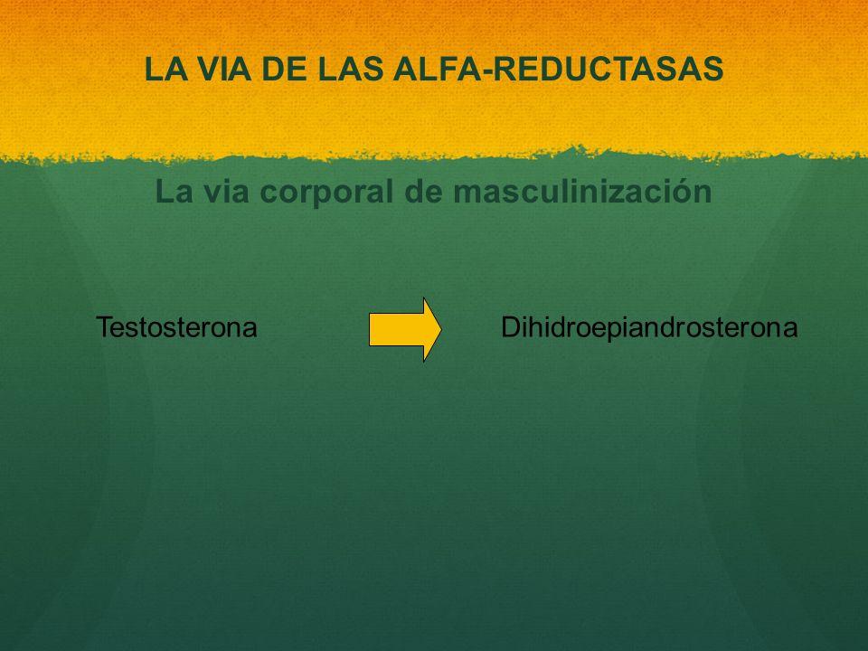 Testosterona Dihidroepiandrosterona LA VIA DE LAS ALFA-REDUCTASAS La via corporal de masculinización