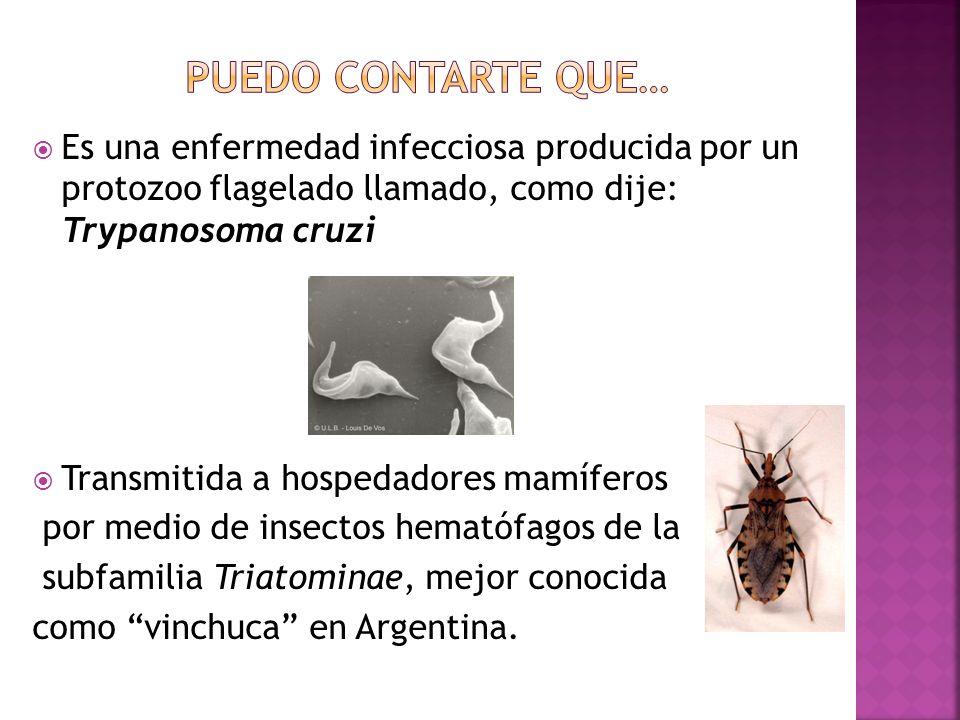 Aunque existen varias especies (T.dimidiata, T. infestans, T.