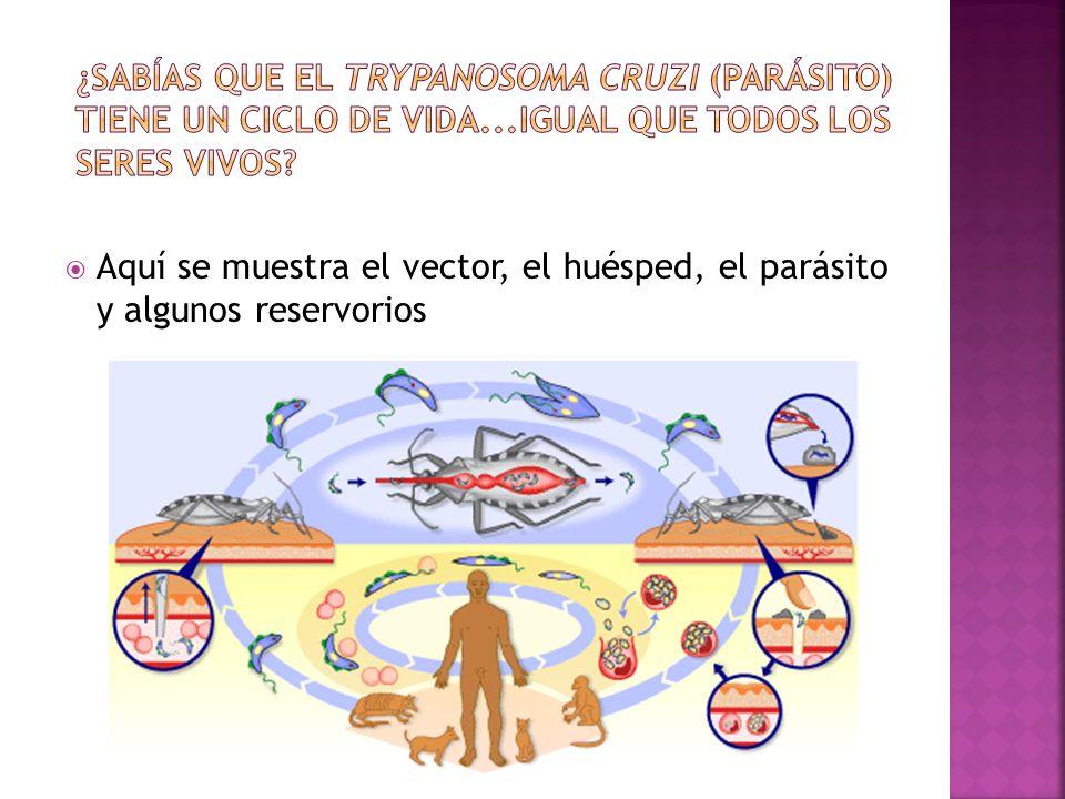 Adopta diferentes formas durante su ciclo natural: Epimastigote: se desarrolla en el insecto vector y constituye una de las formas en que se multiplica el parásito Amastigote: forma esférica u ovalada que carece de flagelo y se multiplica dentro de la célula del huésped Tripomastigote: Forma alongada que se encuentra presente en la circulación del mamífero (tripomastigote sanguíneo) y en la ampolla rectal del vector (tripomastigote metacíclico).