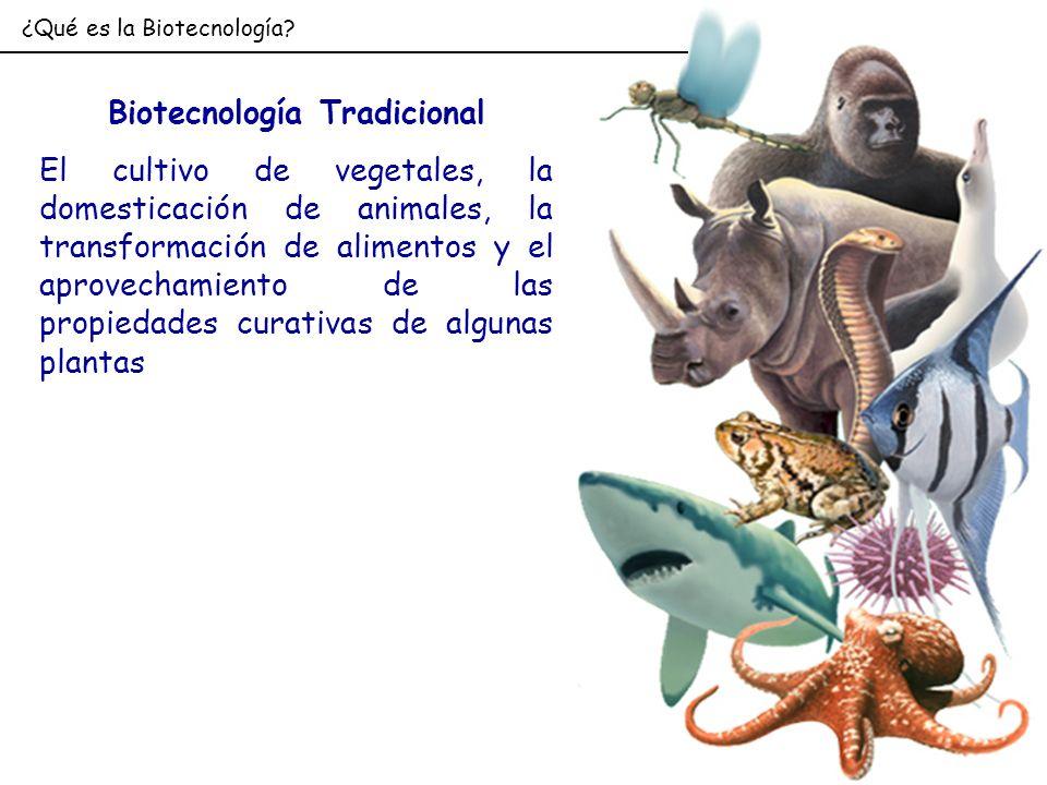 ¿Qué es la Biotecnología? Biotecnología Tradicional El cultivo de vegetales, la domesticación de animales, la transformación de alimentos y el aprovec