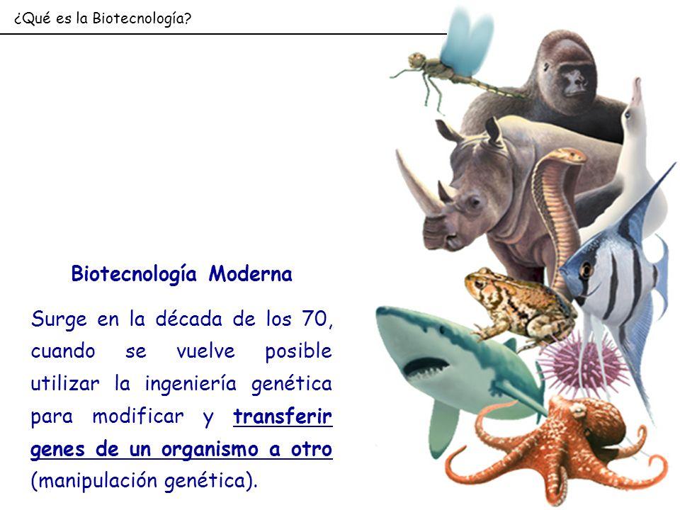 ¿Qué es la Biotecnología? Biotecnología Moderna Surge en la década de los 70, cuando se vuelve posible utilizar la ingeniería genética para modificar