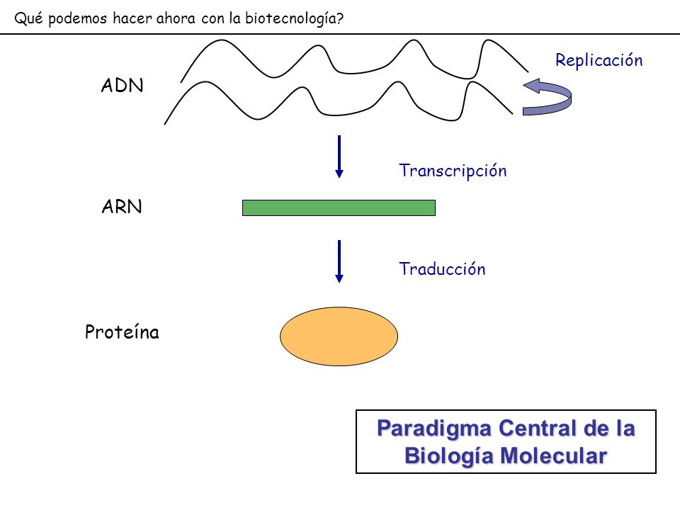 Qué podemos hacer ahora con la biotecnología? ADN Transcripción ARN Traducción Proteína Replicación Paradigma Central de la Biología Molecular