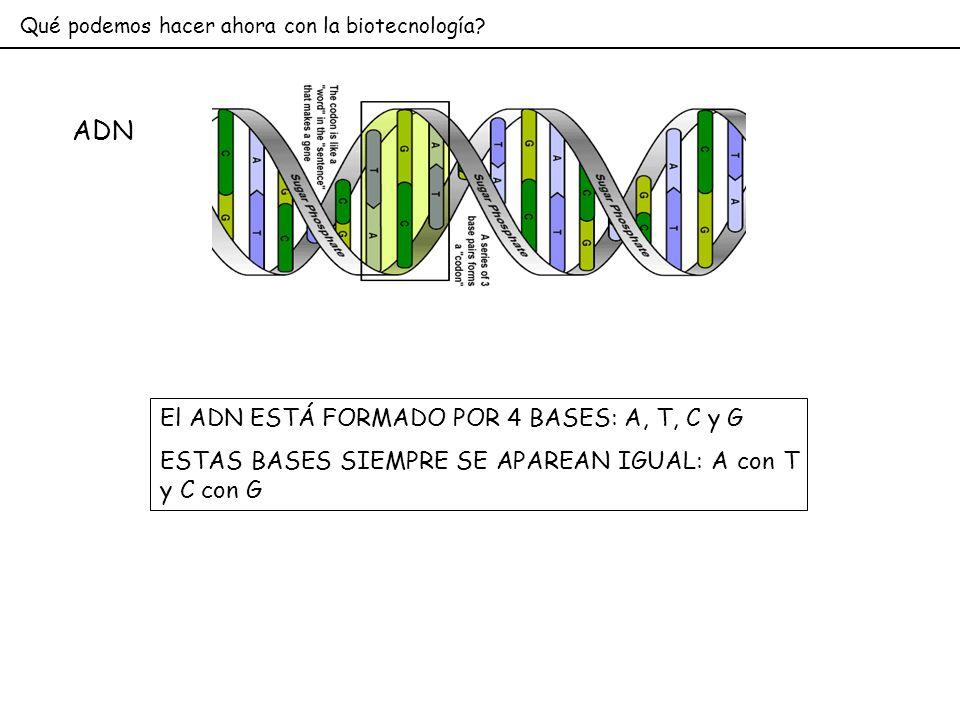Qué podemos hacer ahora con la biotecnología? ADN El ADN ESTÁ FORMADO POR 4 BASES: A, T, C y G ESTAS BASES SIEMPRE SE APAREAN IGUAL: A con T y C con G