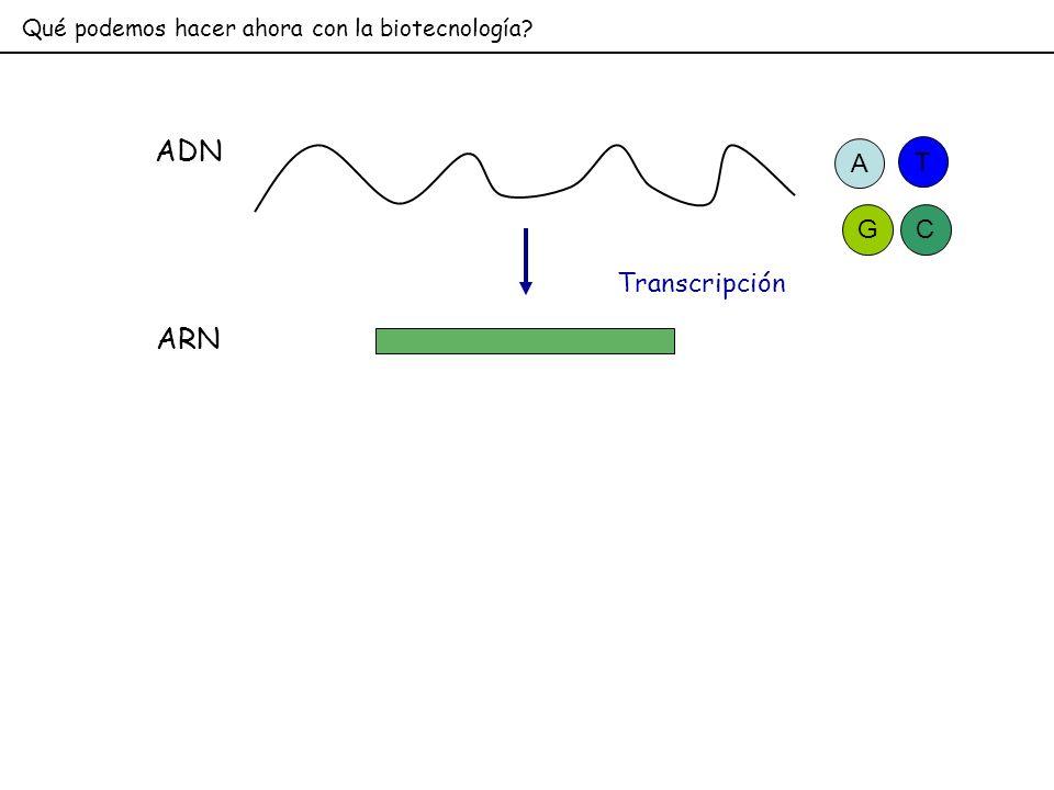 Qué podemos hacer ahora con la biotecnología? ADN Transcripción ARN A GC T