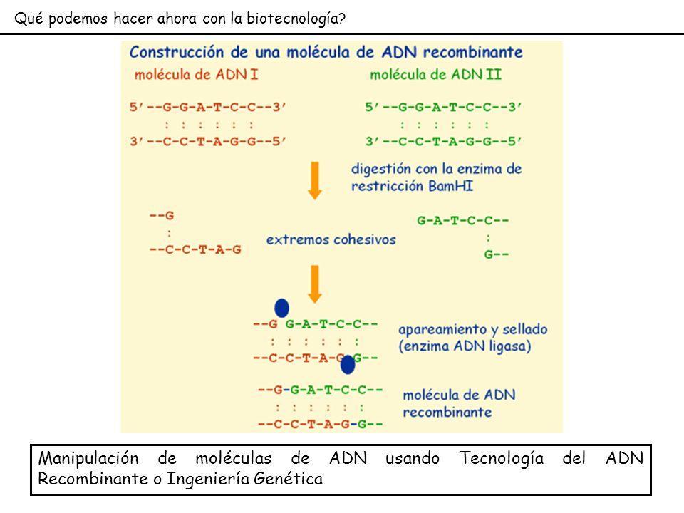 Qué podemos hacer ahora con la biotecnología? Manipulación de moléculas de ADN usando Tecnología del ADN Recombinante o Ingeniería Genética