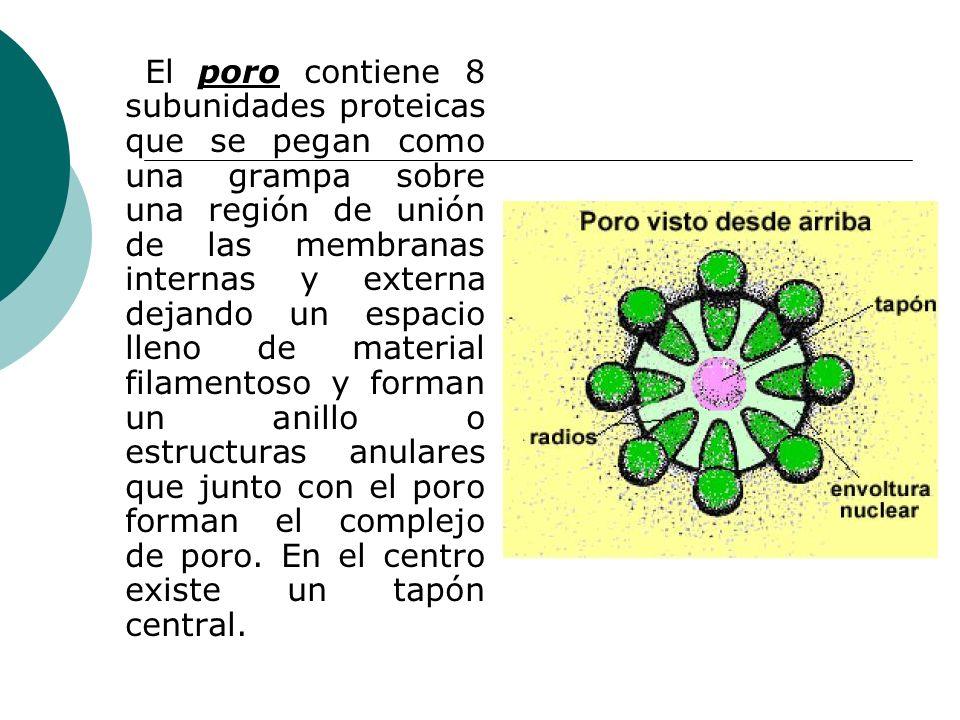 El poro contiene 8 subunidades proteicas que se pegan como una grampa sobre una región de unión de las membranas internas y externa dejando un espacio