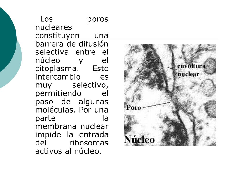 Los poros nucleares constituyen una barrera de difusión selectiva entre el núcleo y el citoplasma. Este intercambio es muy selectivo, permitiendo el p