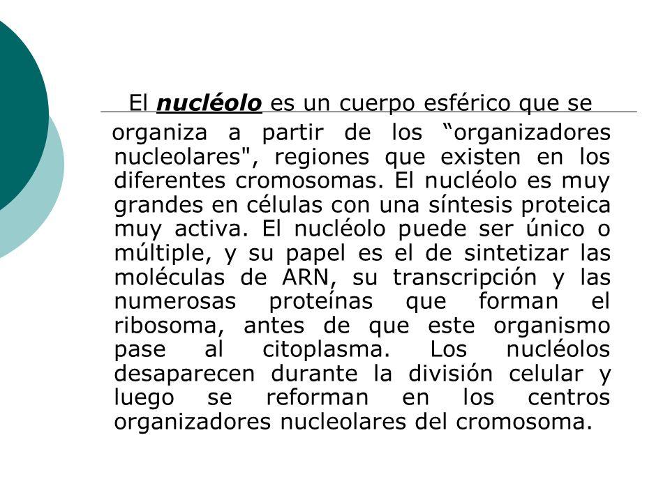 El nucléolo es un cuerpo esférico que se organiza a partir de los organizadores nucleolares