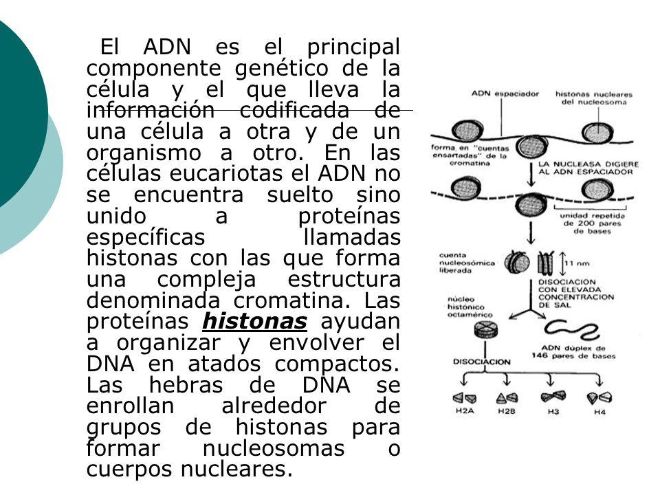 El ADN es el principal componente genético de la célula y el que lleva la información codificada de una célula a otra y de un organismo a otro. En las