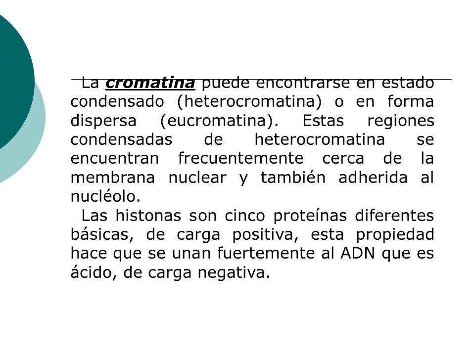 La cromatina puede encontrarse en estado condensado (heterocromatina) o en forma dispersa (eucromatina). Estas regiones condensadas de heterocromatina