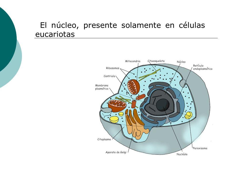 El núcleo, presente solamente en células eucariotas