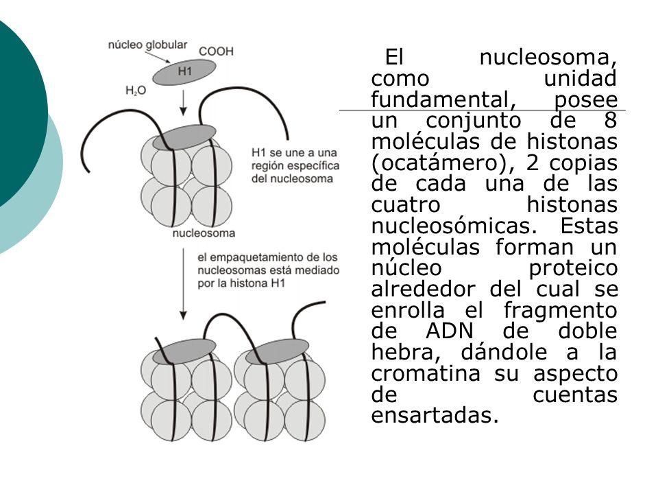 El nucleosoma, como unidad fundamental, posee un conjunto de 8 moléculas de histonas (ocatámero), 2 copias de cada una de las cuatro histonas nucleosó