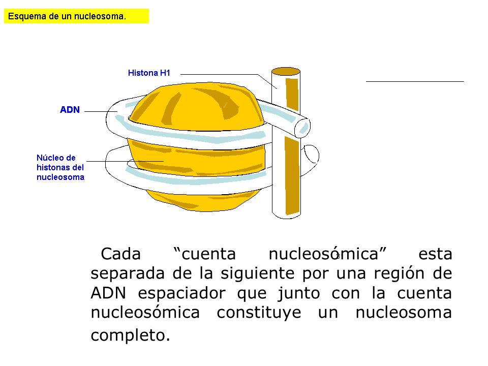 Cada cuenta nucleosómica esta separada de la siguiente por una región de ADN espaciador que junto con la cuenta nucleosómica constituye un nucleosoma
