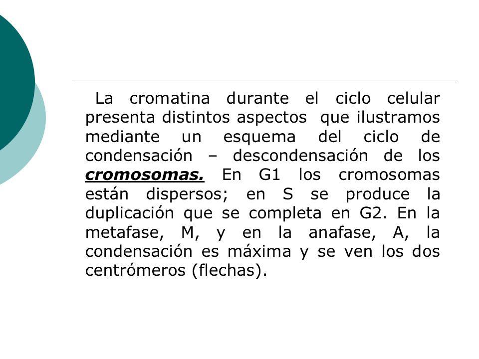 La cromatina durante el ciclo celular presenta distintos aspectos que ilustramos mediante un esquema del ciclo de condensación – descondensación de lo