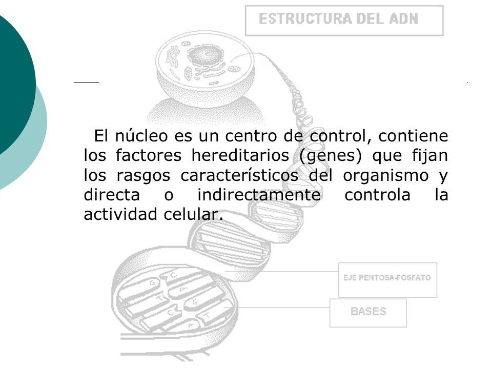 El núcleo es un centro de control, contiene los factores hereditarios (genes) que fijan los rasgos característicos del organismo y directa o indirecta