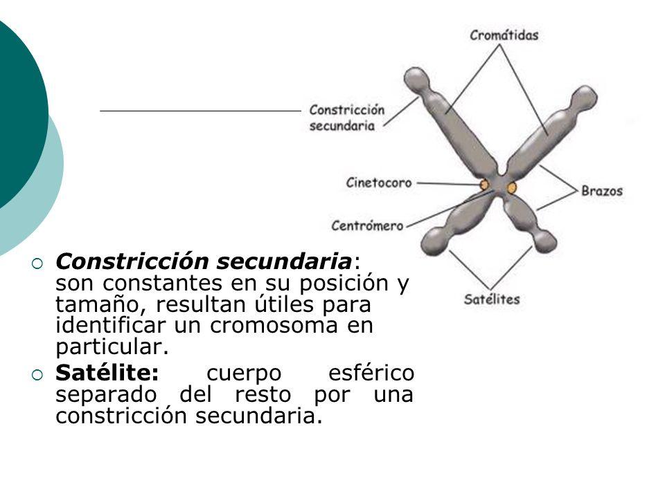 Constricción secundaria: son constantes en su posición y tamaño, resultan útiles para identificar un cromosoma en particular. Satélite: cuerpo esféric