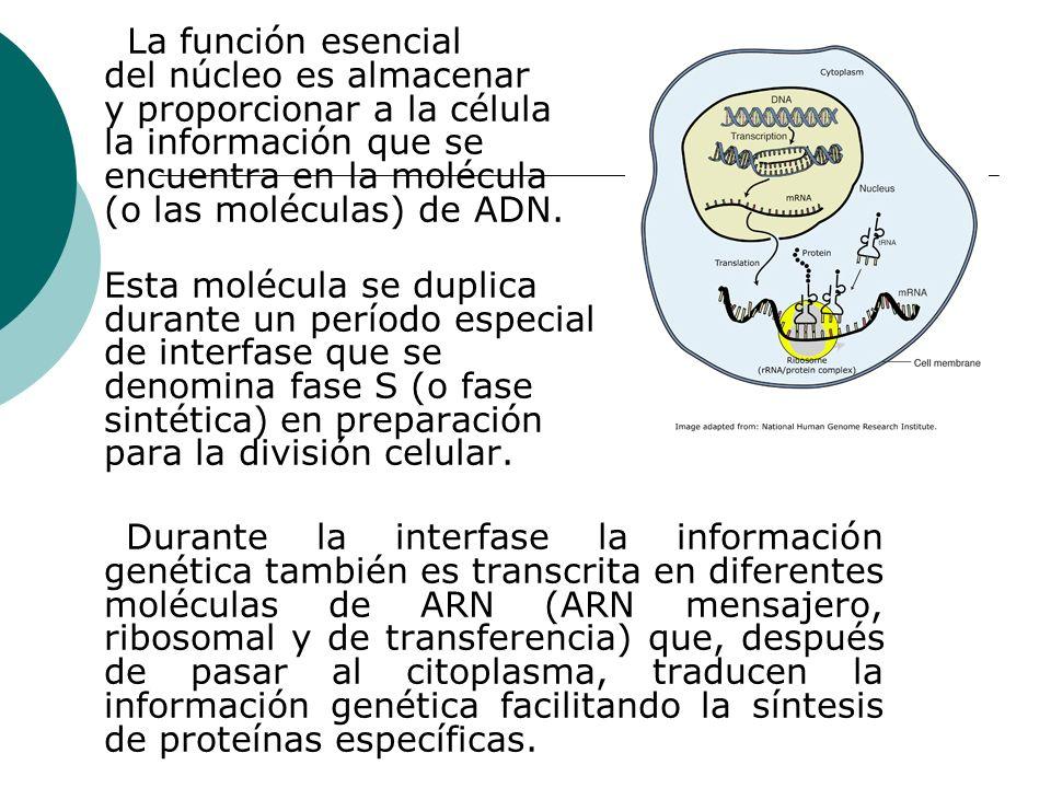 La función esencial del núcleo es almacenar y proporcionar a la célula la información que se encuentra en la molécula (o las moléculas) de ADN. Esta m