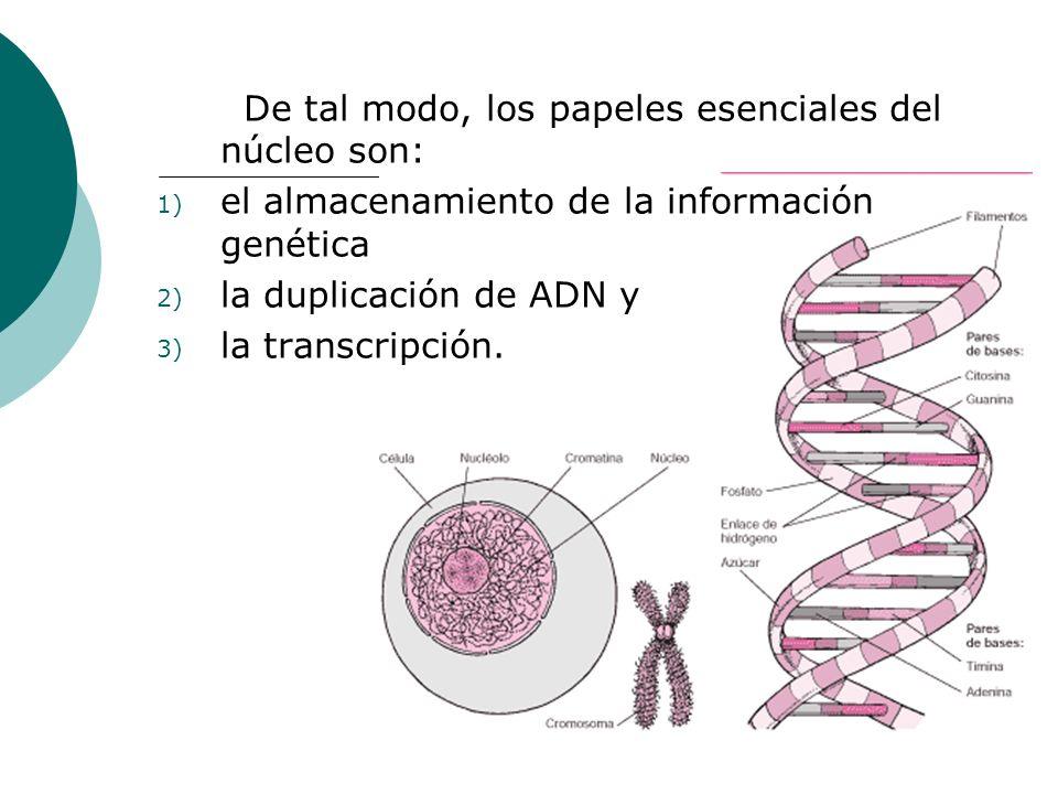 De tal modo, los papeles esenciales del núcleo son: 1) el almacenamiento de la información genética 2) la duplicación de ADN y 3) la transcripción.