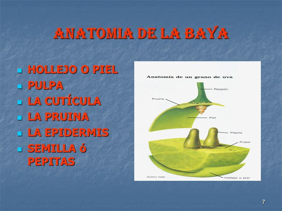 7 ANATOMIA DE LA BAYA HOLLEJO O PIEL HOLLEJO O PIEL PULPA PULPA LA CUTÍCULA LA CUTÍCULA LA PRUINA LA PRUINA LA EPIDERMIS LA EPIDERMIS SEMILLA ó PEPITA
