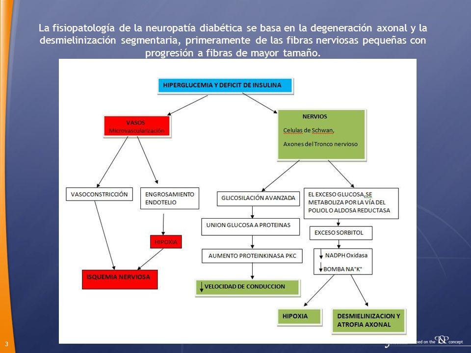 3 La fisiopatología de la neuropatía diabética se basa en la degeneración axonal y la desmielinización segmentaria, primeramente de las fibras nervios