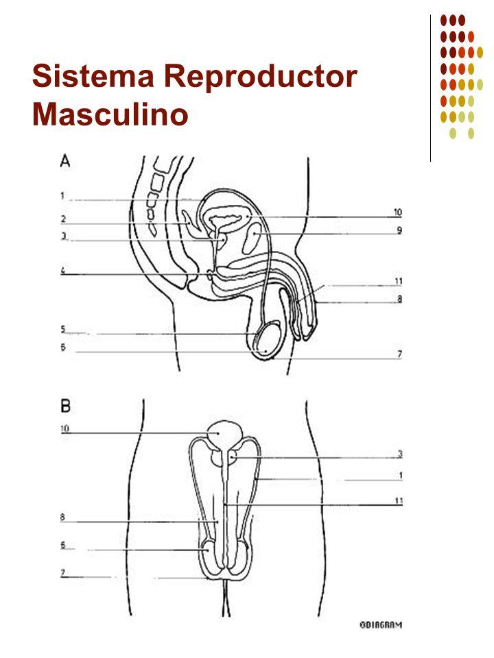 Sistema Reproductor Masculino Repuestas 1 Conducto Deferente 2 Vesícula Seminal 3 Próstata 4 Glándula de Cowper 5 Epidídimo 6 Testículos 7 Escroto 8 Pene 9 Sínfisis Púbica 10 Vejiga 11 Uretra