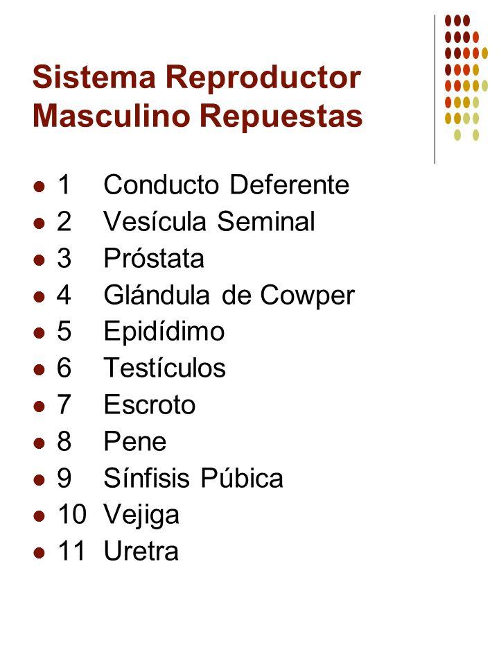 Sistema Reproductor Masculino Repuestas 1 Conducto Deferente 2 Vesícula Seminal 3 Próstata 4 Glándula de Cowper 5 Epidídimo 6 Testículos 7 Escroto 8 P