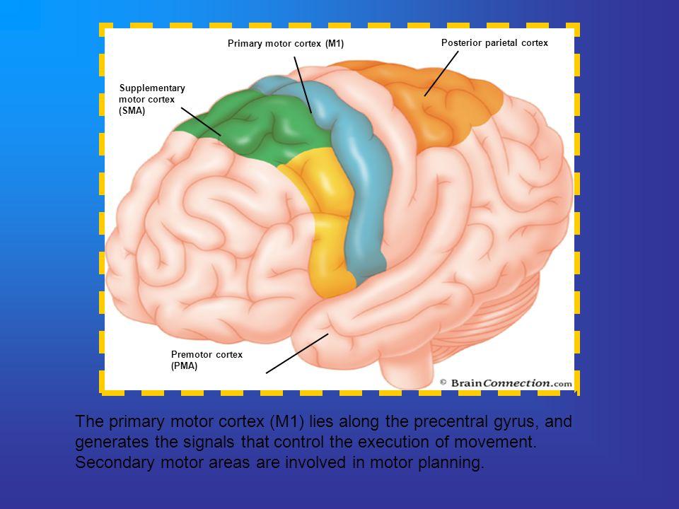 Primary motor cortex (M1) Posterior parietal cortex Premotor cortex (PMA) Supplementary motor cortex (SMA) The primary motor cortex (M1) lies along th
