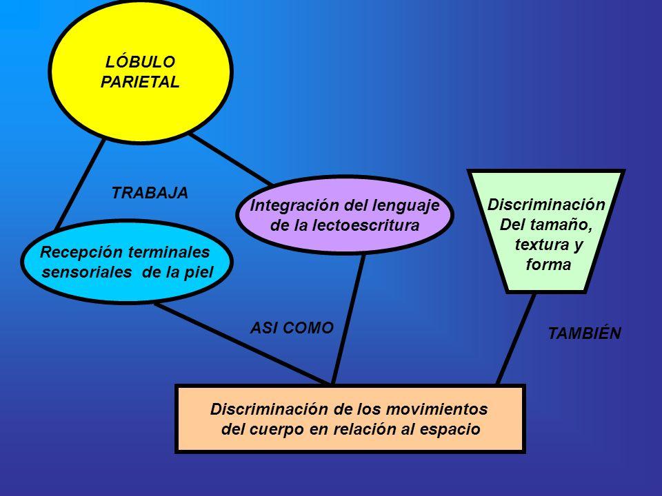 LÓBULO PARIETAL TRABAJA Recepción terminales sensoriales de la piel Integración del lenguaje de la lectoescritura ASI COMO Discriminación de los movim