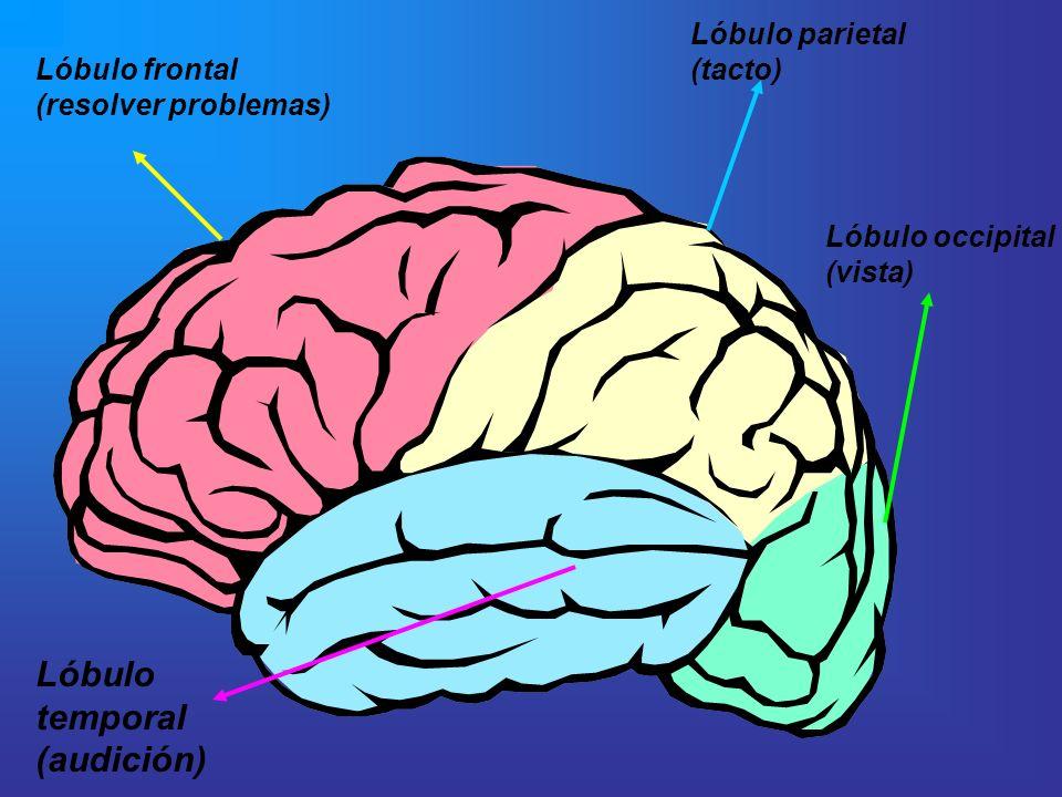 Lóbulo frontal (resolver problemas) Lóbulo parietal (tacto) Lóbulo occipital (vista) Lóbulo temporal (audición)