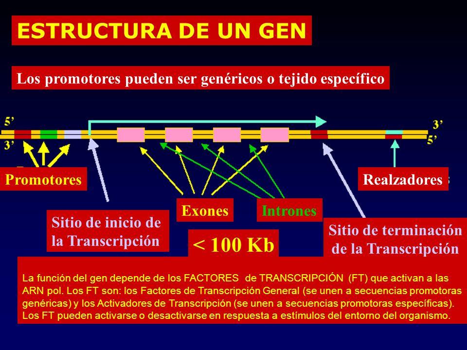 ESTRUCTURA DE UN GEN Promotores Exones Sitio de inicio de la Transcripción Sitio de terminación de la Transcripción Realzadores < 100 Kb Los promotores pueden ser genéricos o tejido específico La función del gen depende de los FACTORES de TRANSCRIPCIÓN (FT) que activan a las ARN pol.
