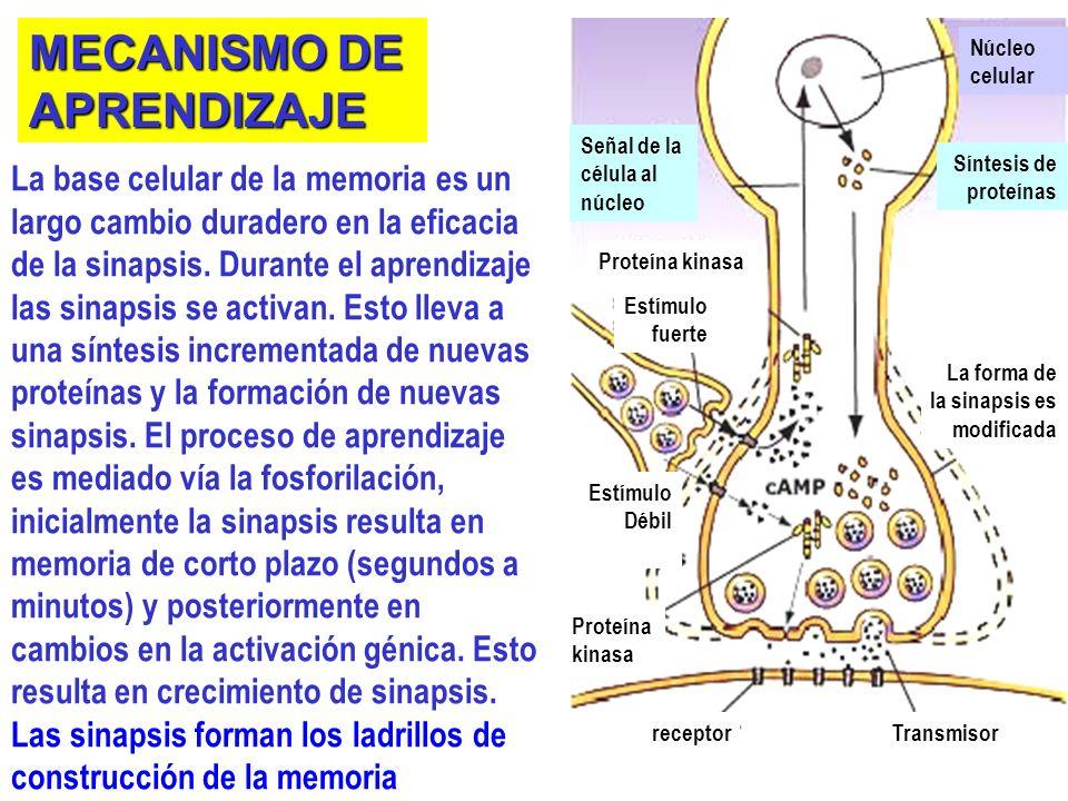 La base celular de la memoria es un largo cambio duradero en la eficacia de la sinapsis.