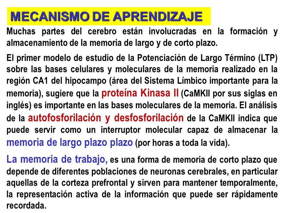 Muchas partes del cerebro están involucradas en la formación y almacenamiento de la memoria de largo y de corto plazo.