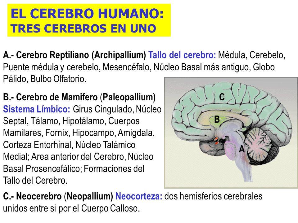 EL CEREBRO HUMANO: TRES CEREBROS EN UNO C.- Neocerebro ( Neopallium) Neocorteza: dos hemisferios cerebrales unidos entre si por el Cuerpo Calloso.