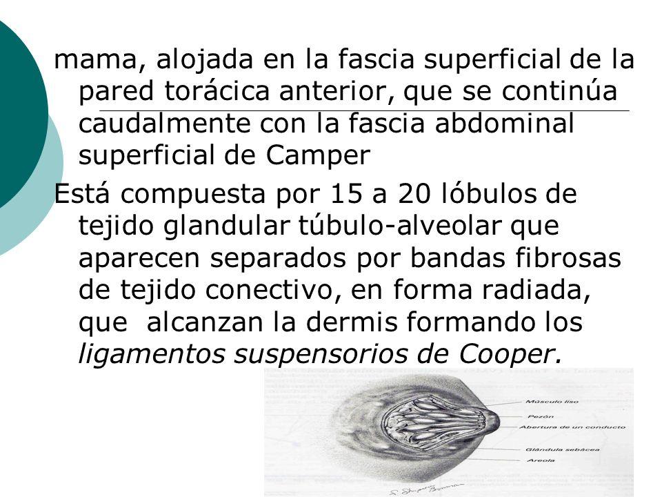 EXAMEN FISICO DE MAMAS PALPACION SUPERFICIAL: permite identificar hallazgos a nivel superficial (tono,dolor, temperatura).