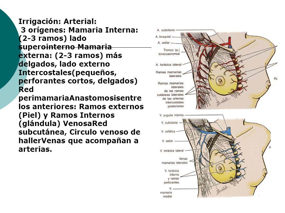 Irrigación: Arterial: 3 orígenes: Mamaria Interna: (2-3 ramos) lado superointerno Mamaria externa: (2-3 ramos) más delgados, lado externo Intercostale