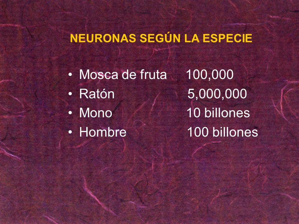 Mosca de fruta 100,000 Ratón5,000,000 Mono 10 billones Hombre 100 billones NEURONAS SEGÚN LA ESPECIE