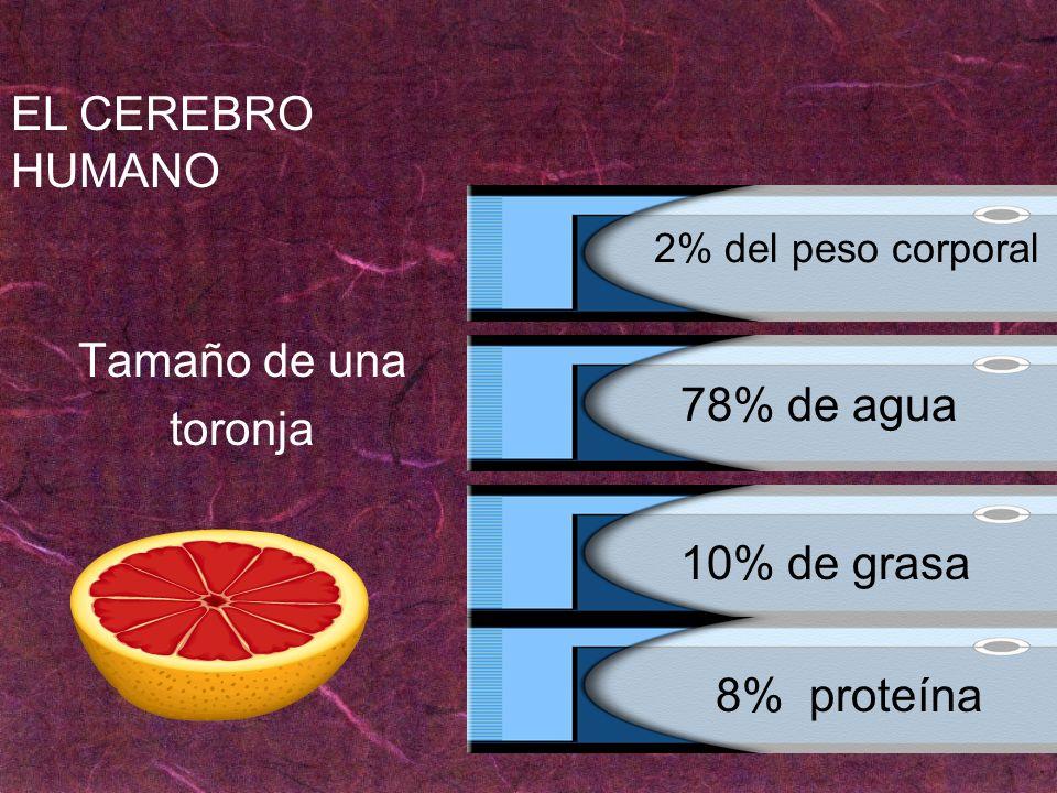 Tamaño de una toronja EL CEREBRO HUMANO 78% de agua 10% de grasa 2% del peso corporal 8% proteína