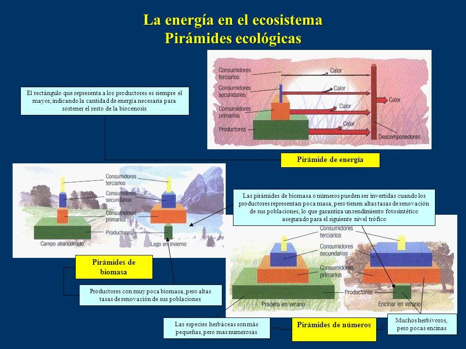 Forma de representación de cada uno de los niveles tróficos en función de la variable estudiada (producción, biomasa, números) Cada nivel trófico está
