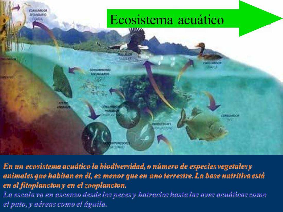 La energía en el ecosistema Pirámides ecológicas El rectángulo que representa a los productores es siempre el mayor, indicando la cantidad de energía