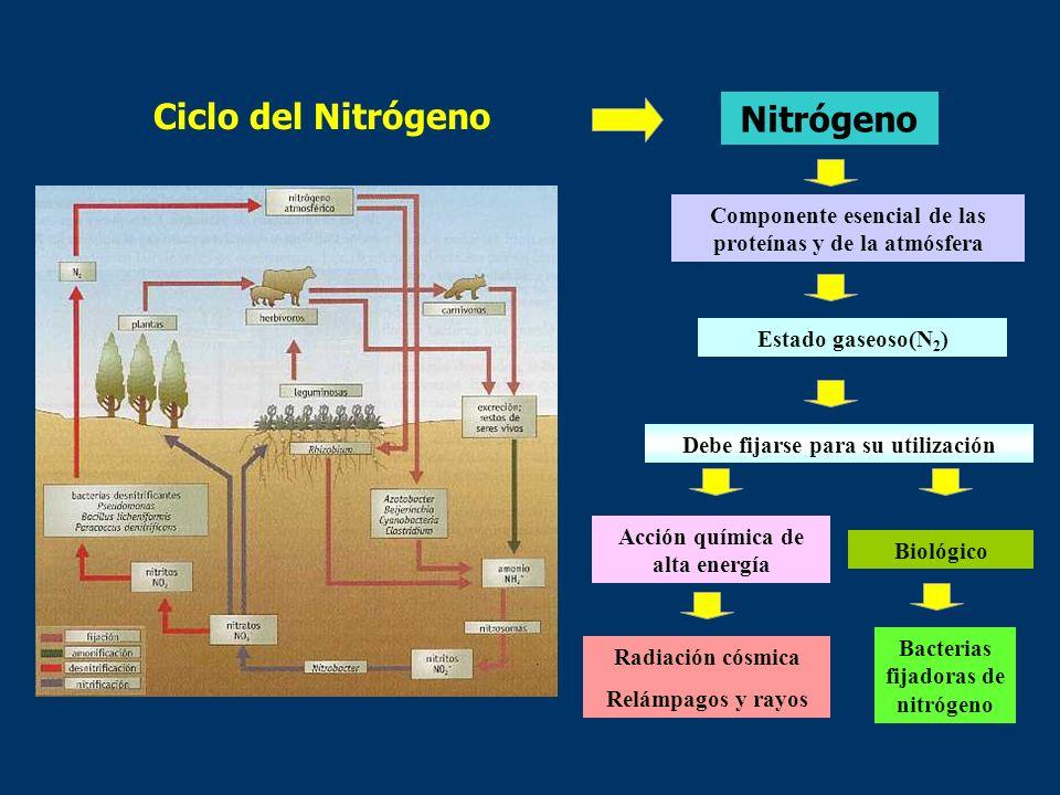 La energía en el ecosistema Ciclos biogeoquímicos El ciclo del nitrógeno Rhizobium NO 3 -