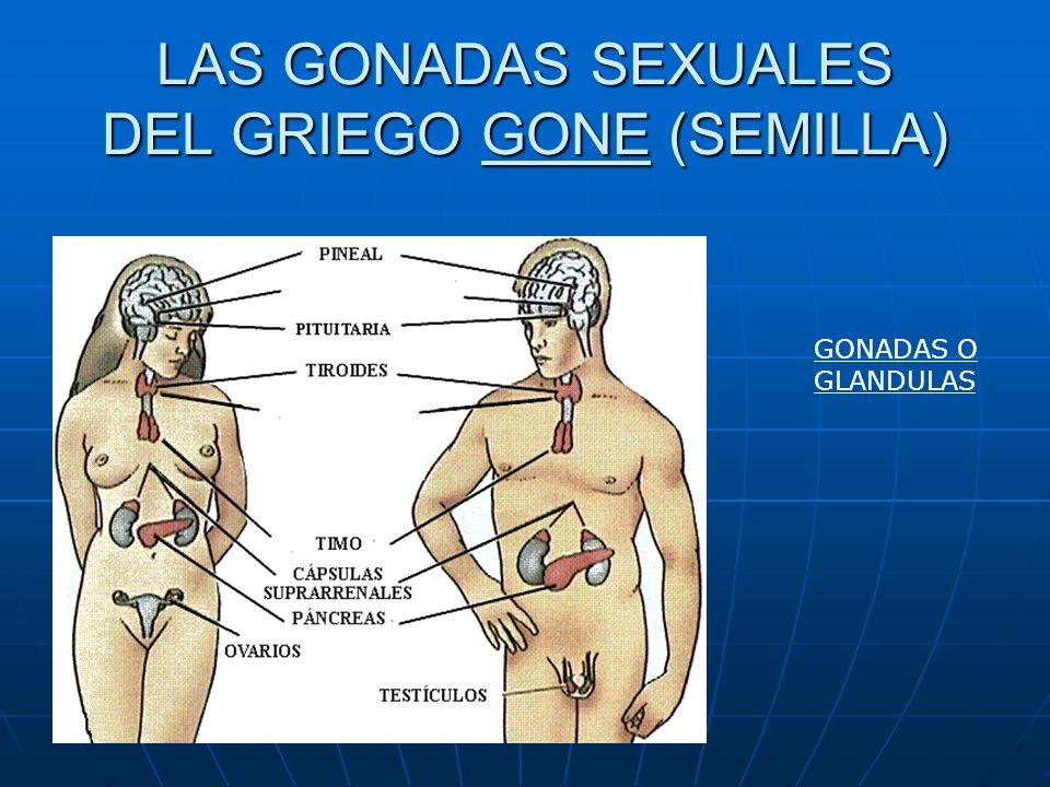 LAS GONADAS SEXUALES DEL GRIEGO GONE (SEMILLA) GONADAS O GLANDULAS