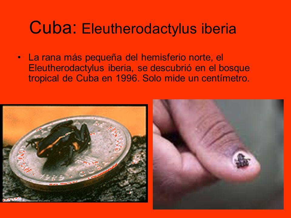 Cuba: Eleutherodactylus iberia La rana más pequeña del hemisferio norte, el Eleutherodactylus iberia, se descubrió en el bosque tropical de Cuba en 19
