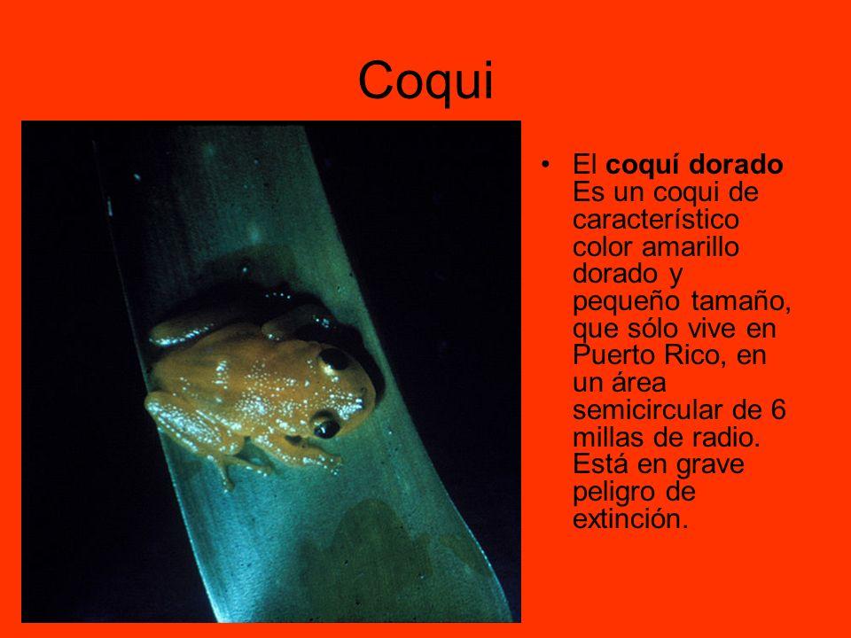 Coqui El coquí dorado Es un coqui de característico color amarillo dorado y pequeño tamaño, que sólo vive en Puerto Rico, en un área semicircular de 6