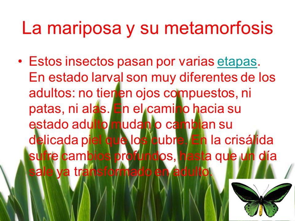 La mariposa y su metamorfosis Estos insectos pasan por varias etapas. En estado larval son muy diferentes de los adultos: no tienen ojos compuestos, n