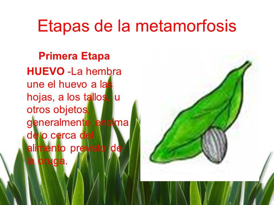 Etapas de la metamorfosis Primera Etapa HUEVO -La hembra une el huevo a las hojas, a los tallos, u otros objetos, generalmente encima de o cerca del a