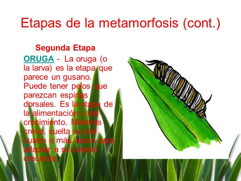Etapas de la metamorfosis (cont.) Segunda Etapa ORUGAORUGA - La oruga (o la larva) es la etapa que parece un gusano. Puede tener pelos que parezcan es