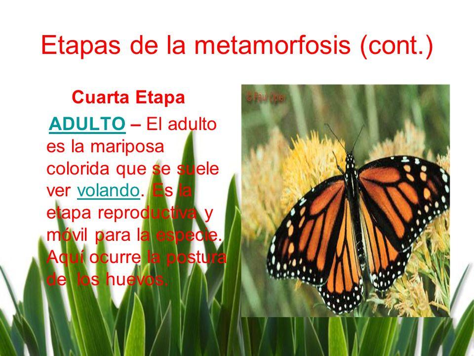 Etapas de la metamorfosis (cont.) Cuarta Etapa ADULTO – El adulto es la mariposa colorida que se suele ver volando. Es la etapa reproductiva y móvil p